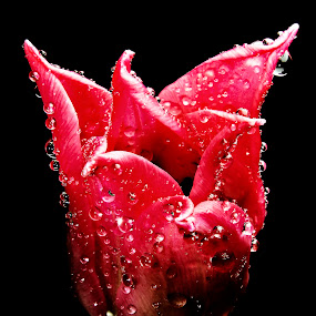 RED MAN by Michael Michael - Flowers Single Flower ( macro, water drops, red flower, waterdrop, single flower, tulip, red tulip, flower, tulipe,  )
