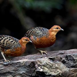 Partridges by Pungut Luntar - Animals Birds ( bird, tokki, pungut, pahang, nature, malaysia, wildwildlife, birding )