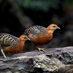 Partridges by Pungut Luntar - Animals Birds ( bird, tokki, pungut, pahang, nature, malaysia, wildwildlife, birding )