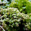 Tiny Fern-moss