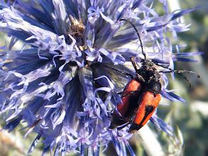 """Photo: Accouplement des """"Anaplore cordigera"""" (coléoptères) sur une fleur de chardon bleu, ou chardon Roland, ou chardon roulant - Lubéron (04) - 470 m - garrigue."""