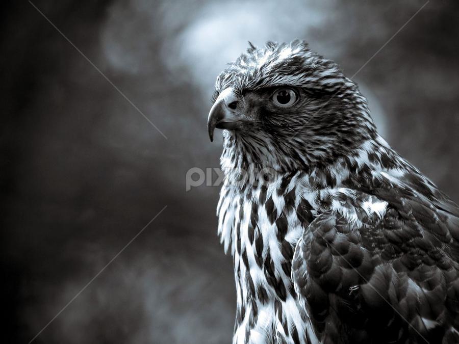 Hawk by Jason Rich - Animals Birds