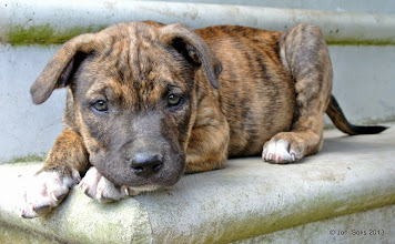 Photo: Tiger, is a red brindle male puppy with white on toes. Adopt or rescue!