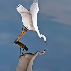 Reflect Upon by Shelly Wetzel - Animals Birds ( bird, water reflection, snowy egret, white heron )
