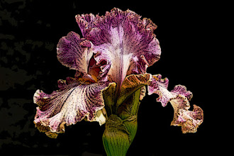 Photo: Poster edges (2/2/3) - ruffled violet iris
