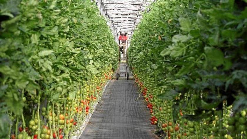 Imagen de archivo de un invernadero con plantas de tomate.