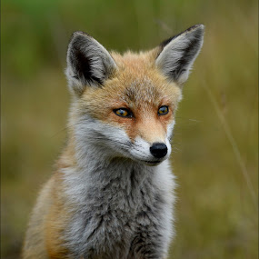 FOX CUB by Ita Martin - Animals Other Mammals ( fox cub,  )