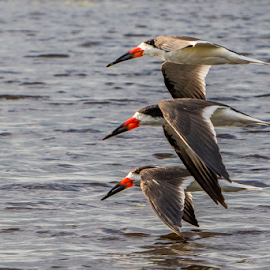 Black necked skimmers by Joe Saladino - Animals Birds ( skimmers, bird, animal )