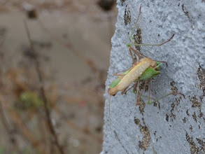 Photo: Mantide religiosa (Mantis religiosa) in accoppiamento. Ventotene (LT) 10/2013