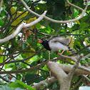 Urocissa erythroryncha 紅嘴藍鵲