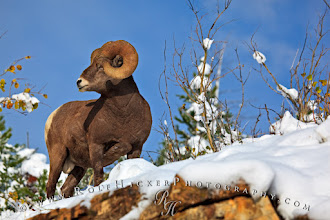 Photo: Healthy bighorn sheep ram enjoying sunshine after the first snowstorm in fall. I photographed this beautiful animal in Waterton Lakes National Park in southern Alberta, one of my favorite Rocky Mountain Parks in Canada. #nature #wildlife #animals