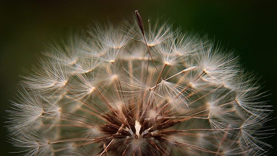 Halving Dandelions by Sherri Woodbridge - Flowers Flowers in the Wild ( plant, wild, nature, dandelion, seeds, dusk, flower,  )