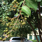 Crape Myrtle ( Lagerstroemia indica)