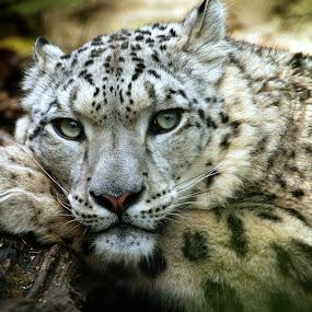 Resting Snow Leopard by Chris Boulton - Animals Other Mammals ( big cat, cat, snow, wildlife, log, mammal, leopard, snow leopard, animal )