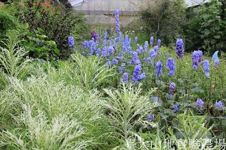 Photo: 拍攝地點: 梅峰-溫帶花卉區 拍攝植物: 葉牡丹(前方白色)和飛燕草(後方藍色) 拍攝日期:2012_05_19_FY