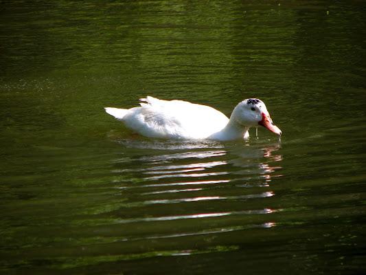 Goose di Silvan0