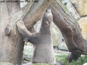 Photo: Nix gefunden - umarmt Knut eben den Baum ;-)