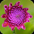 Purple Flower Wallpaper APK