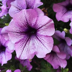 by Ivana Tilosanec - Flowers Single Flower ( nature, nature up close, flowers, flower,  )