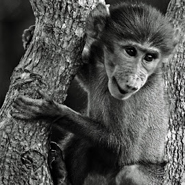 Baby African Baboon by Claudia Lothering - Black & White Animals (  )