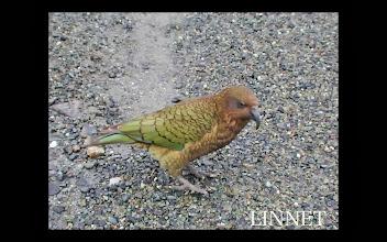 Photo: ミヤマオウム(Kea) 地元では 鳴き声からケアという名前で呼ばれています。南島で5,000羽程しか生息していません。