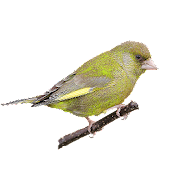 Greenfinch Mutations Android APK Download Free By Acalio Innova