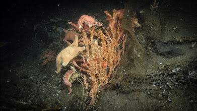 Photo: Sea stars feeding on a coral colony that had fallen from a steep wall to the seafloor (Image courtesy of Gulf of Maine Deep Sea Coral Science Team 2014/NURTEC-UConn/NOAA Fisheries/UMaine)