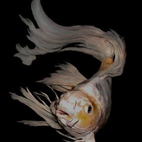 Koi by Janna Morrison - Animals Fish ( fish, kio, butterfly koi )