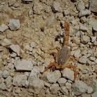 Mediterranean checkered Scorpion