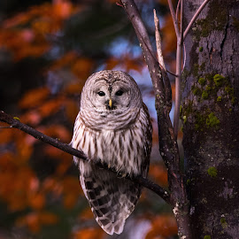 by Lyle Gallup - Animals Birds ( barred owl, raptor, owl, bird )