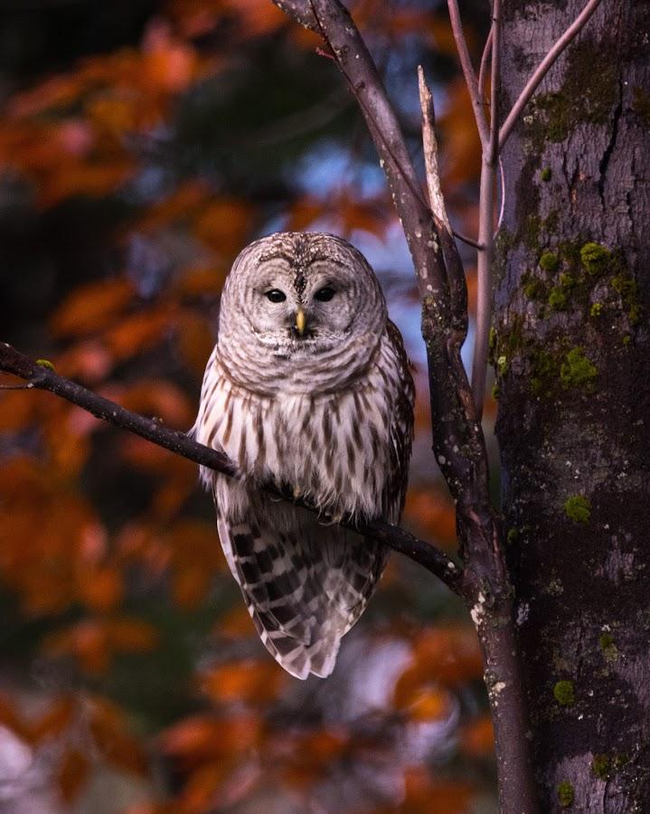 by Lyle Gallup - Animals Birds ( barred owl, raptor, owl, bird )