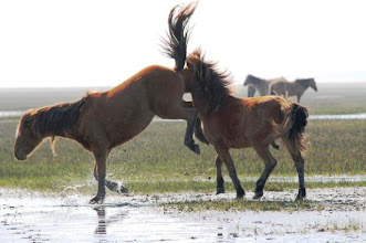 Photo: During the spring and summer, wild horses are competing for mates; dangerous situations can arise when horses are fighting or mating. Please observe these natural behaviors from afar to give the horses their space while maintaining your safety. Remember never to walk between horses, especially a mare and her foal. This photo was taken with a telephoto lens.