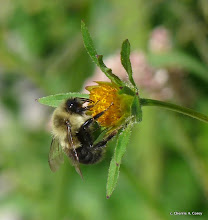 Photo: Bumblebee (Bombus impatiens) on Devil's beggar-ticks (Bidens frondosa)