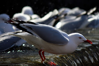 Photo: Red Billed Gull bathing in the Octagon fountain. Dunedin, NZ