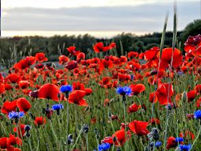 Photo: Mohnblumen in der Abendsonne