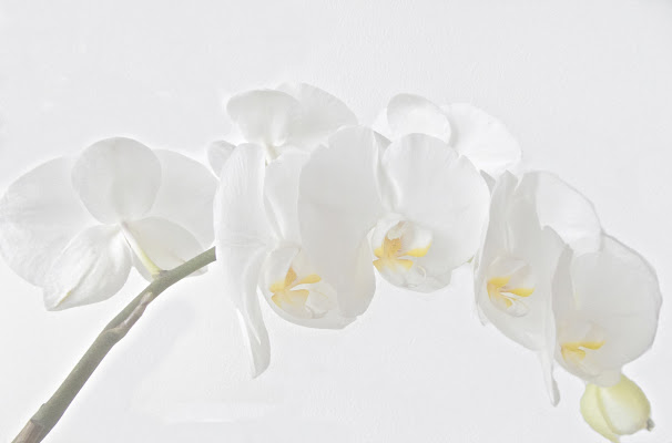 White Phalaenopsis  di luiker