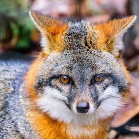 Fox by John Sinclair - Animals Other ( fox, wildlife )