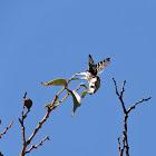 Australian Grapevine Moth