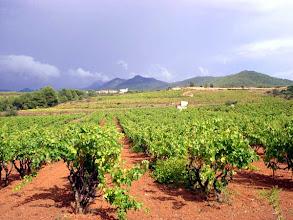 Photo: Vinyes verdes (green vineyards)
