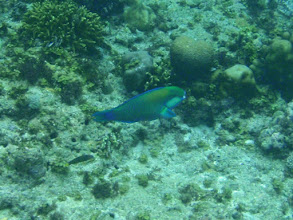 Photo: Scarus bleekeri (Bleeker's Parrotfish), Siquijor Island, Philippines