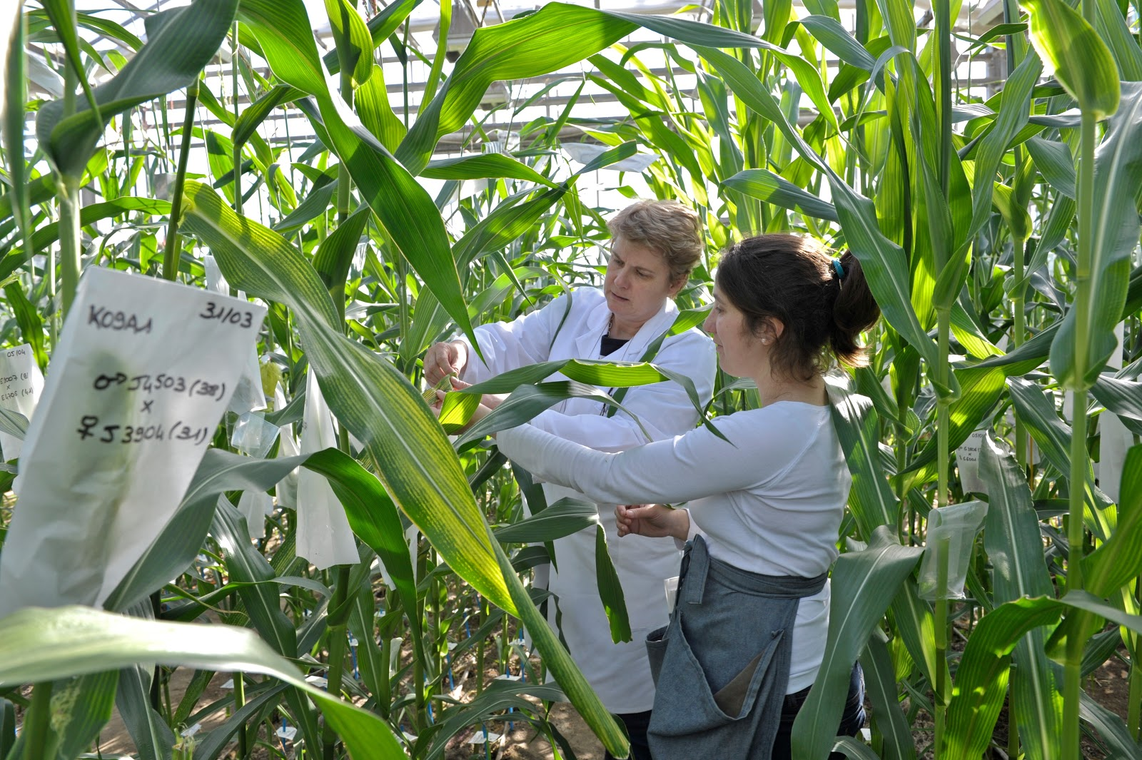 corn, selection
