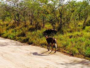 Photo: Wild dogs - Kruger NP