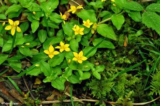 Photo: Lysimachia nemorum2