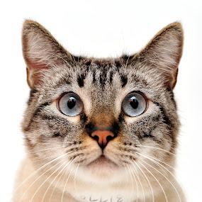 Chico by Josh Norem - Animals - Cats Portraits ( cats, cat, kitten, feline, kitty, siamese )