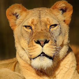 La majesté de la lionne by Gérard CHATENET - Animals Lions, Tigers & Big Cats