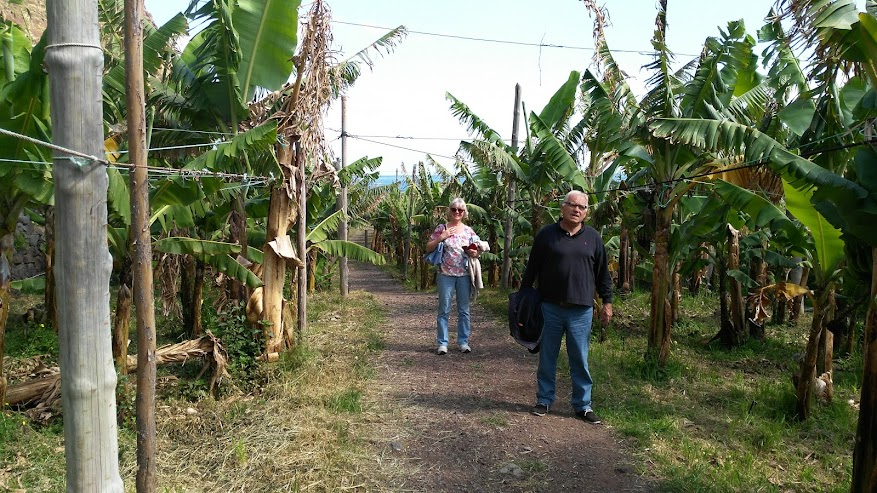 banana field in Fajã dos Padres
