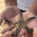 Northern Pacific Sea Star