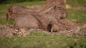 Capybara Casanova thumbnail