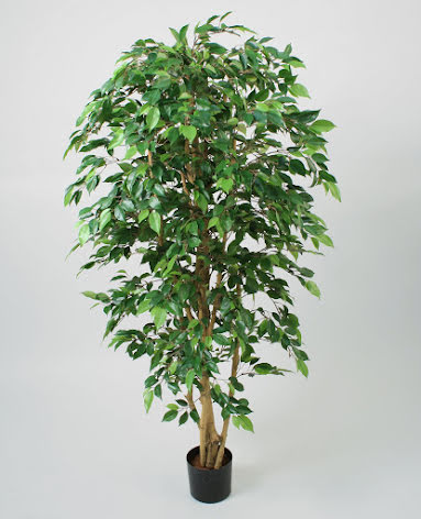 Ficus Natasja - 140cm & 170cm