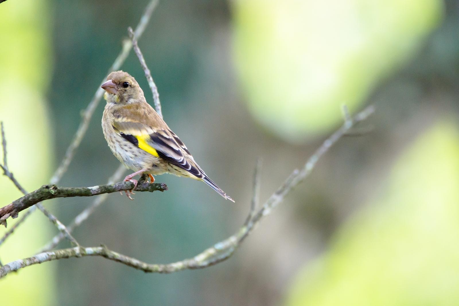 Photo: ちらり Look back.  どこへ行くの? 早朝の森で 鳥たちがあっちへこっちへ どうやら 行き先は秘密みたい  Oriental Greenfinch. (カワラヒワ)  #birdphotography #birds #cooljapan #kawaii #nikon #sigma  Nikon D7200 SIGMA 150-600mm F5-6.3 DG OS HSM Contemporary